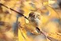 Sparrow on the ground in leaves autmn Stock Photos