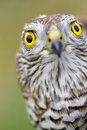 Sparrow-hawk Royalty Free Stock Photography