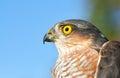 Sparrow hawk birds of europe accipiter nisus Stock Photography
