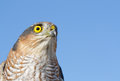 Sparrow hawk birds of europe accipiter nisus against blue sky Stock Photo