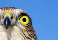 Sparrow hawk birds of europe accipiter nisus front view Stock Image