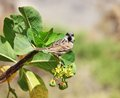 Sparrow on Jatropha Royalty Free Stock Photo