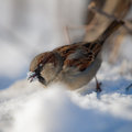 Sparrow looks for food under snow Royalty Free Stock Images