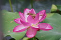 A sparrow in lotus flower fall red for ingestion Royalty Free Stock Photography