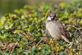 Sparrow passer domesticus sitting on a bush Stock Photos