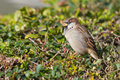 Sparrow passer domesticus sitting on a bush Royalty Free Stock Photo