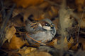 Sparrow ruffled up in anticipation of winter sits among fallen oak leaves Royalty Free Stock Photo