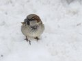 Sparrow single sitting on the dirty snow Stock Photography