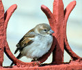 Sparrow sits on red fence Royalty Free Stock Image