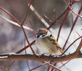 Sparrow sitting branch spring day Royalty Free Stock Photo