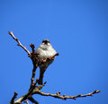 Sparrow sitting on tree with blue sky background Royalty Free Stock Photo