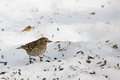 Sparrow in the snow Royalty Free Stock Photo