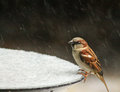 Sparrow in the snow 2 Royalty Free Stock Photo