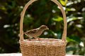Sparrow tailless and worms common young without a tail taking from a wicker basket Royalty Free Stock Photos