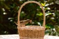Sparrow tailless and worms common young without a tail taking from a wicker basket Stock Images