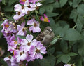 Sparrow in wild roses perched pink Stock Photo