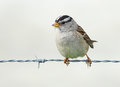 Sparrow on a wire fence Royalty Free Stock Photo