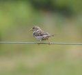 Sparrow on a wire sitting Stock Image
