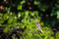 Sparrow on wire small wild brown fence european stonechat saxicola rubicola house barbed with beautiful bokeh Stock Photography