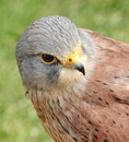 Sparrowhawk bird of prey head photo close up sparrow hawk showing nice detail to the eye and beak and colourful feathers displayed Stock Photos