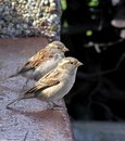 Sparrows Royaltyfria Bilder