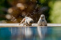 Sparrows bathing two is taking a shower by the swimming pool on a sunny summer day Stock Image