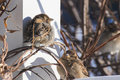 Sparrows in the morning sun getting warmed by Royalty Free Stock Photos