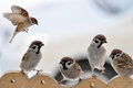 Sparrows on the trough a flock of sitting a wooden Stock Photos