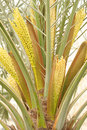 Spathe with flowers in a date palm tree Royalty Free Stock Photography