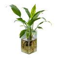 Spathiphyllum or peace lily in the glass vase Royalty Free Stock Image