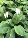Spathiphyllum or Peace lily. Royalty Free Stock Photo