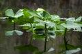 Spatterdock lily pads, Okefenokee Swamp National Wildlife Refuge