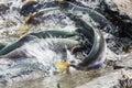 Spawning salmon Royalty Free Stock Photo