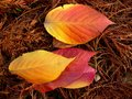 Spear shaped autumn leaves Stock Photography