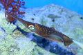 Spear squid Royalty Free Stock Photo
