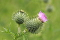 Spear thistle thistles starting to flower Royalty Free Stock Images