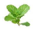 Spearmint Royalty Free Stock Photo