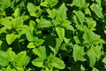 Spearmint plant leaves Royalty Free Stock Photo