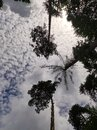 Special sight of treetops of scotch pines trying to reach fluffy clouds in sky Royalty Free Stock Photo