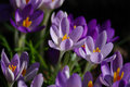 Species crocus quite different cultivated crocus which flower later tiny mauve purple delicate crocus which naturalise rapidly Stock Images