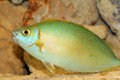 Species of rabbitfish siganus woodlandi in japan Royalty Free Stock Photo