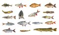 Species of river fish on white background Stock Image