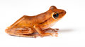 Species of a small green frog cloeeup isolated over white Royalty Free Stock Photo