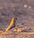 A Speckle-fronted Weaver Stock Photography