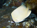 Speckled butterflyfish in bali sea indonesia Royalty Free Stock Photos