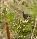 The Speckled Chachalaca Stock Image
