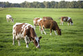 Speckled cows Royalty Free Stock Photos