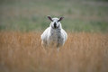 Speckled Face Sheep Standing I...