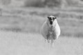 Speckled faced sheep stands out in meadow a beulah looks quizzically at the camera her face a black and white photo on a slightly Royalty Free Stock Photos
