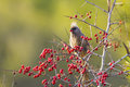 Speckled mousebird eating seeds tree Stock Images